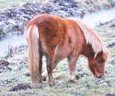 Feeding horses with EMS