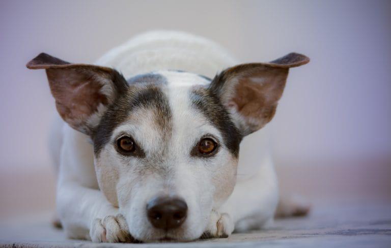 Hond drager coronavirus?