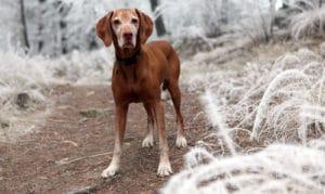 Oudere honden - artrose