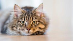 Visolie voor katten